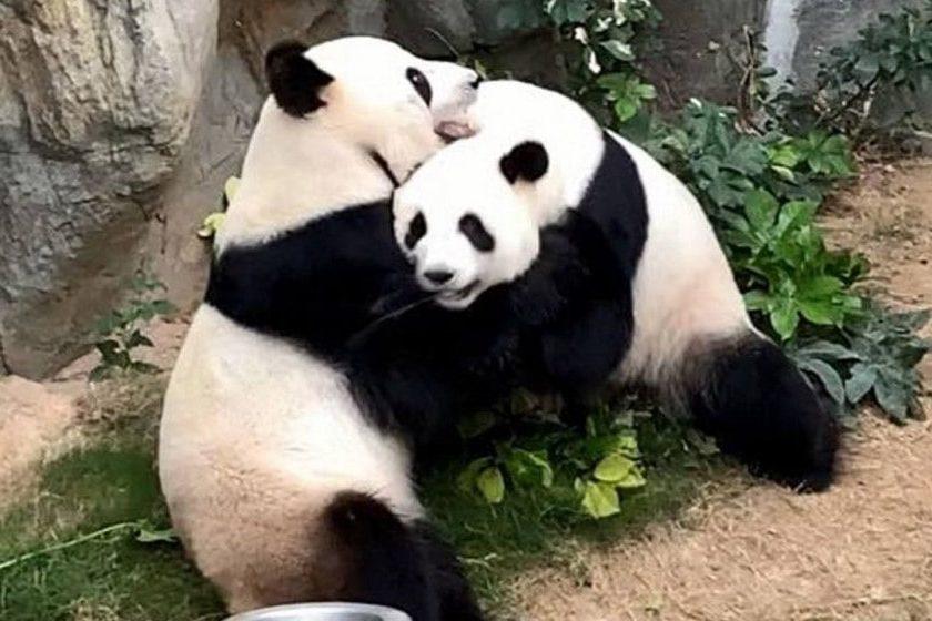 Pandas se aparean durante cuarentena