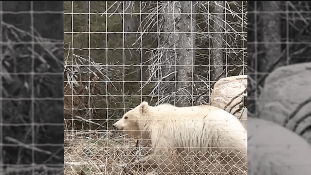 VIDEO osos grizzly blanco en Canadá