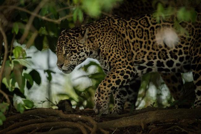 jaguar en las sombras