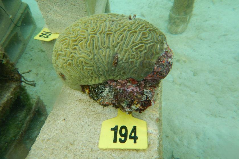restaurar arrecifes coralinos