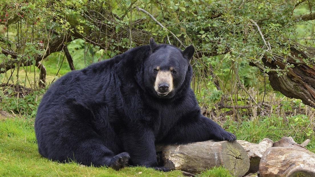 VIDEO oso negro se une a picnic familiar