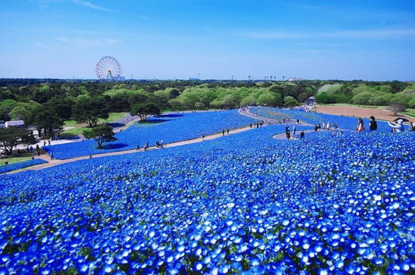 flores azules en campos de Japon
