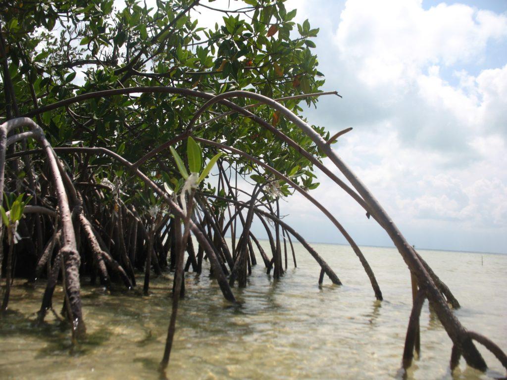 manglares de Isla Blanca