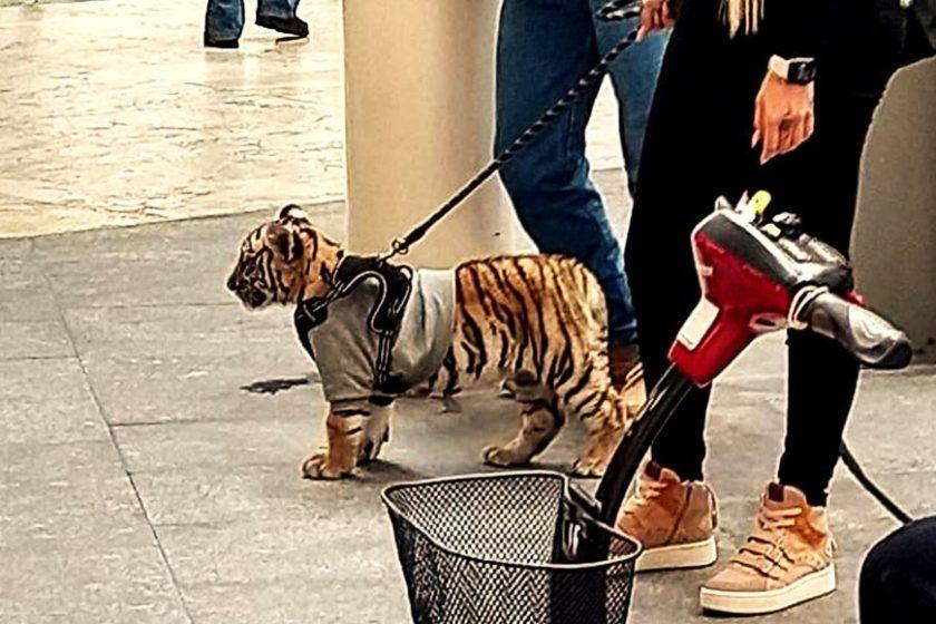 Captan a mujer paseando a un tigre en plaza Antara