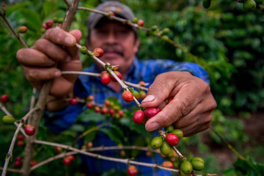 produccion para el bienestar cafe