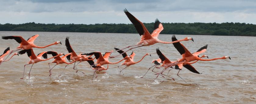 Flamenco rosado del Caribe