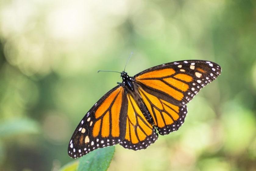 José del Río, mariposas monarcas