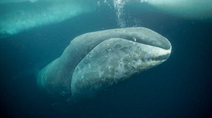 ballena boreal