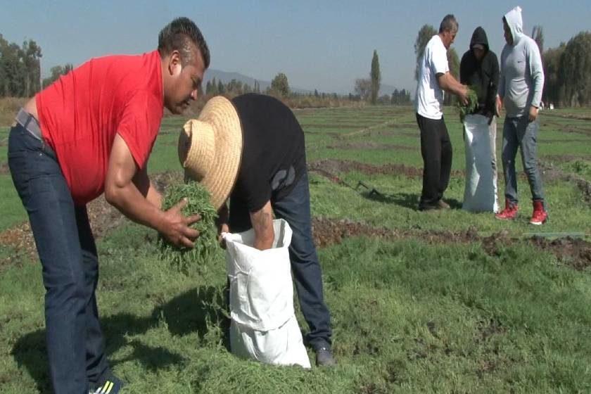 romeritos_Agricultura_CDMX
