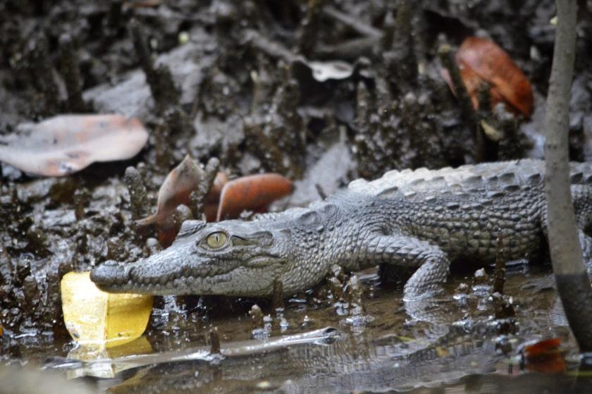 cocodrilo joven