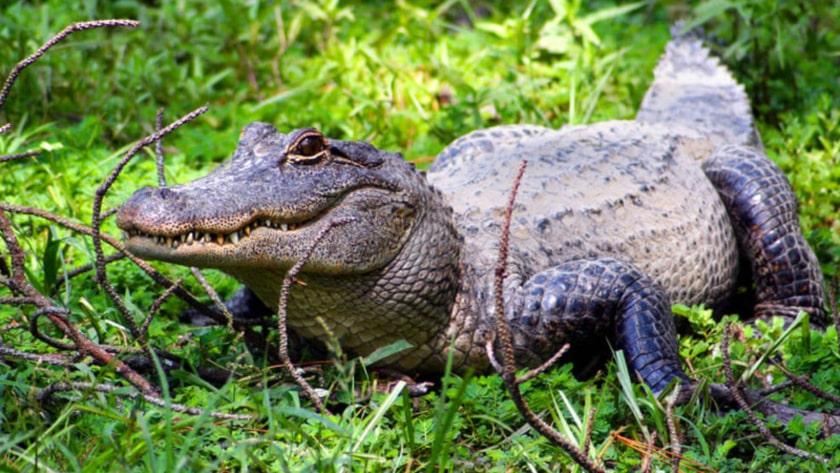 cocodrilo en Puerto Vallarta