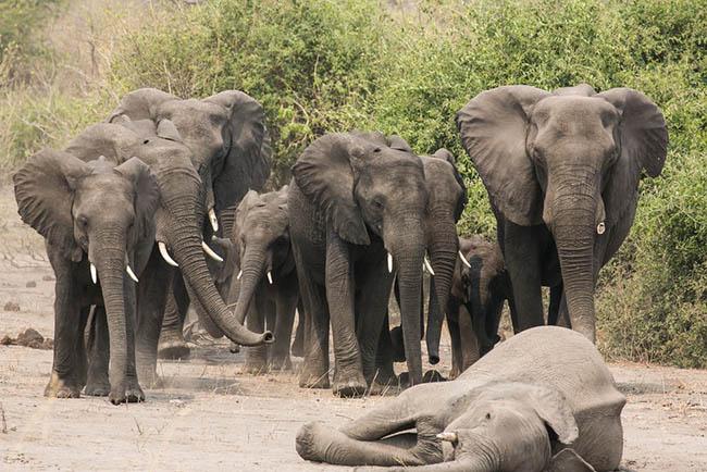 muerte de elefante
