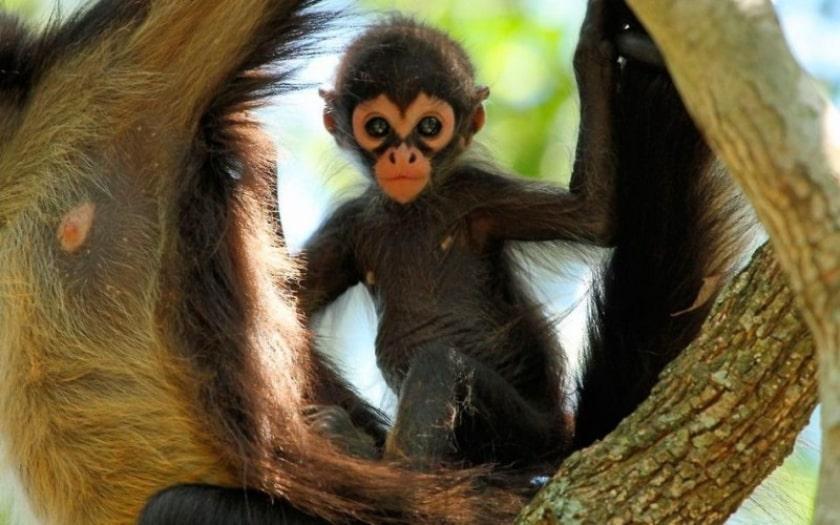 cria de mono arana