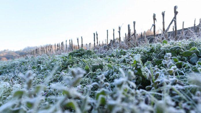 Frente Frío afecta cultivos de maíz sorgo y trigo